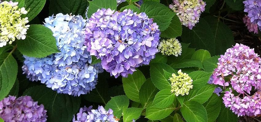 hydrangea blue gardening
