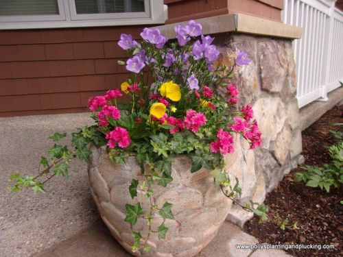 Spring planter with Campanula Lewisia Pansies and ivy