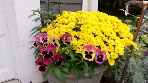 Fall planter with mums and pansies