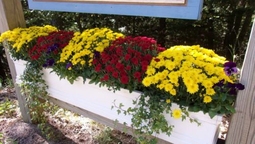 Fall flower box with mums