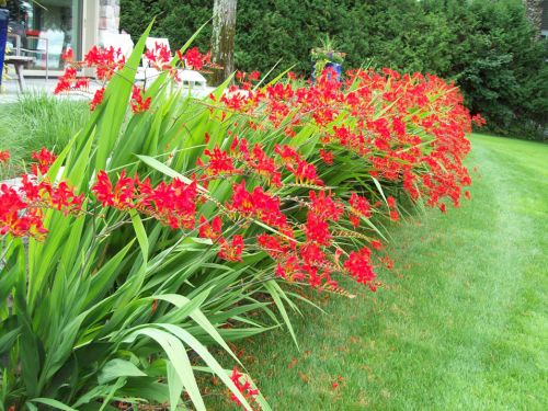 crocosmia in bloom