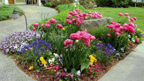 spring garden with tulips pansies muscari english daisies