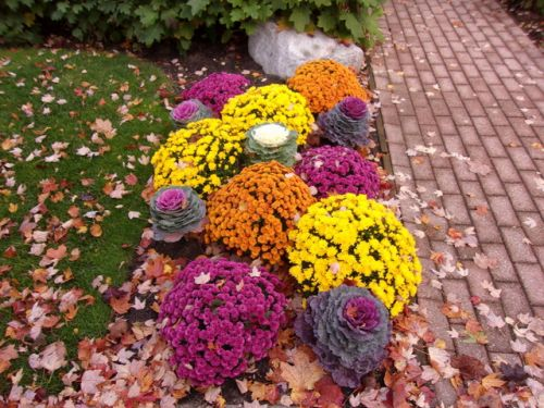 Fall garden bed with mums and ornamental cabbage
