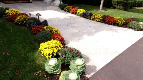 Fall walkway garden bed with mums and ornamental cabbage