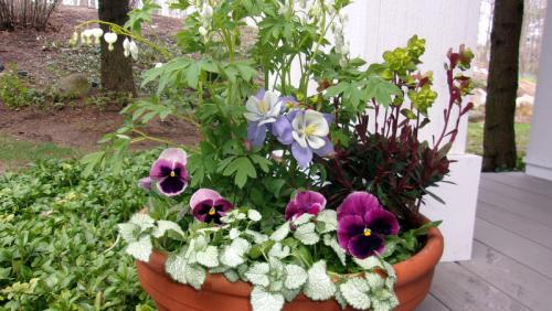spring planter with pansies bleeding heart columbine euphorbia